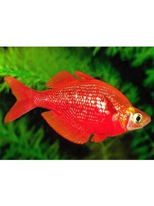 Rainbow fish – Glossolepis incisus - Red rainbow  - 3 -4 см.
