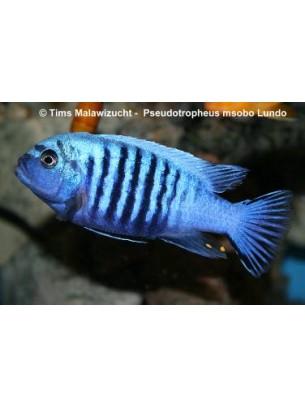 Продавам Malawi Cichlids Pseudotropheus msobo lundo  - Малави цихлида - 4-5 см.