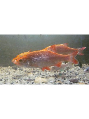 Златна червеноперка - 8-10 см.