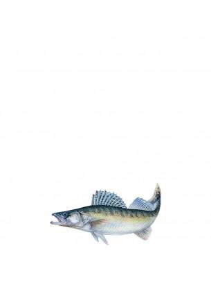 FIAP profifan Sticker Zander - Стикер с високо качество на Бяла риба - 18.0 х 12.5 см.