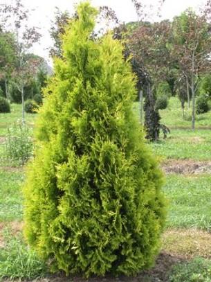 Thuja orientalis - Източна туя - височина на растението - 1.00 - 1.30 м.