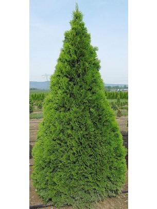 """Thuya Conifer """"Smaragd """" - Смарагдова туя - височина на растението - 0.6 - 0.8 м."""