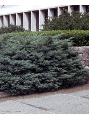 Juniperus chinensis 'Hetzii' - хвойна - 20 - 40 см.