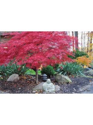 Acer Palmatum Dissectum Viridis  - Явор (клен) - височина на растението - 0.50 м.