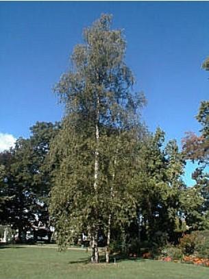 Betula pendula (verrucosa) - Бреза бяла - 3.00 - 4.00 м.