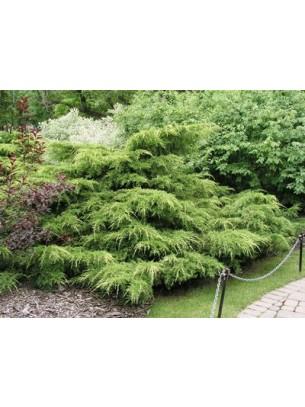 Juniperus chinensis 'Pfitzeriana Aurea'  - хвойна - 20 -30 см.