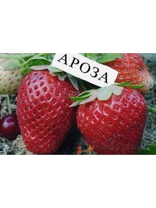 Ягоди сорт Ароза - в контейнер
