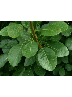 Cotinus coggygria - смрадлика - височина на растението - 0.3 - 0.5 м.