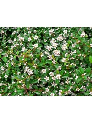 Contoneaster dammeri - Котонеастер - височина на растението - 0.2 - 0.3 м.