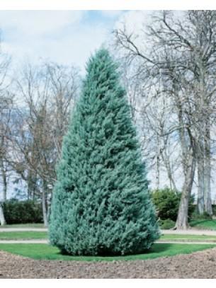 Cupressus arizonica conia - Купресус - височина на растението - 0.3 - 0.4 м.