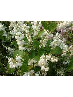 Deutzia magnifica - Дейция бяла - приблизителни размери - 20 - 40 см.