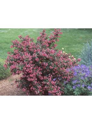 Escallonia - Ескалония, розова - височина на растението -  0.2 - 0.4 м.