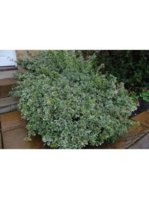 Euonymus emerald gaiety  - Евонимус - височина на растението - 0.2 - 0.4 м.