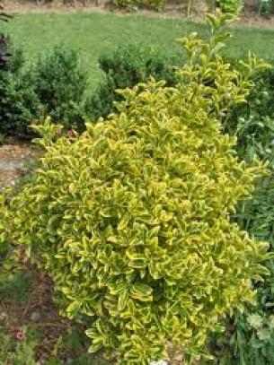 Euonymus japonica aureomarginatus - Евонимус  - височина на растението - 0.2 - 0.4 м.