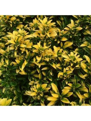 Euonymus japonica microphyllus - Евонимус - височина на растението -  0.2 - 0.4 м.