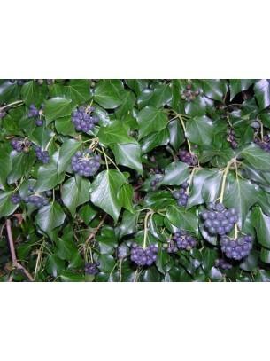 Hedera hibernica - бръшлян  - височина на растението - 0.2 - 0.4 м.