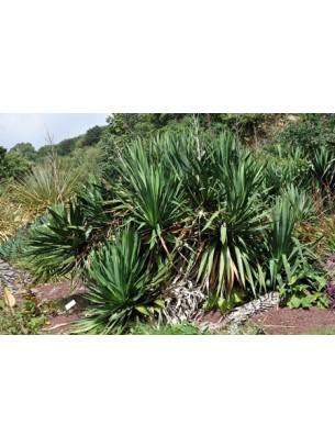 Yucca gloriosa - Юка - височина на растението - 0.2 - 0.4 м.