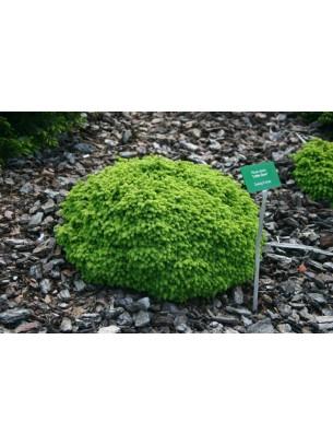 """Picea abies """"Little Gem"""" - смърч - височина на растението - 0.3 - 0.4 м."""