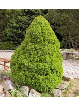 """Picea glauca """"Conica"""" - смърч - височина на растението - 0.15 - 0.25 м."""