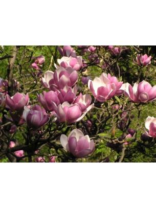 Magnolia x soulangeana - магнолия - приблизителни размери - 0.80 - 1.00 м.