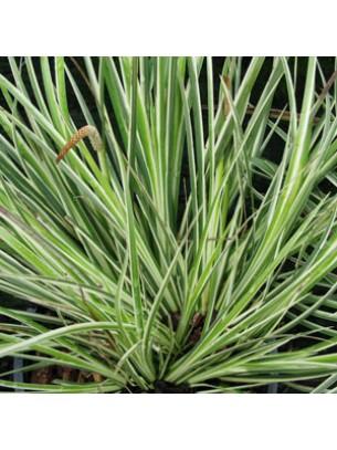 "Acorus garminerus ""Argenteostriatus"" - височина на растението - Акорус тревист аир - 0.1 - 0.2 м."