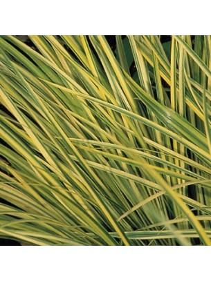 """Acorus garminerus """"Golden Gelight""""  - височина на растението -  Акорус тревист аир - 0.1 - 0.2 м."""