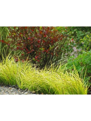 "Acorus garminerus ""Oborozuki"" - височина на растението - Акорус тревист аир - 0.1 - 0.2 м."