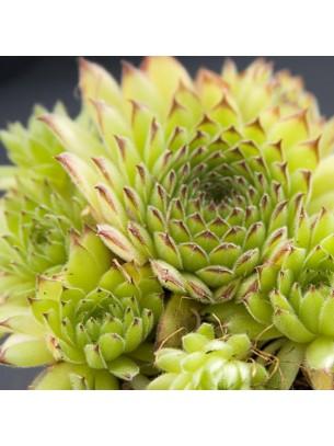 "Sempervivum ""Spider"" - Семпервивум, Дебелец, Бабин квас  - височина на растението - 0.1 м."