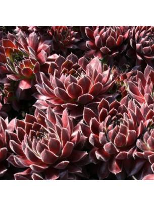 """Sempervivum """"Red"""" - Семпервивум, Дебелец, Бабин квас - височина на растението - 0.1 м."""