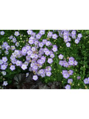 "Campanula cochleariifolia ""Samantha"" - Кампанула - височина на растението -  0.1 - 0.2 м."
