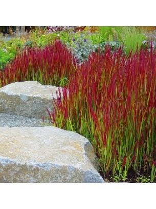 "Imperata cylindrica ""Red Baron"" - височина на растението -  0.1 - 0.2 м."