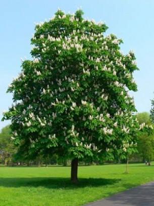 Aesculus - Конски кестен - височина на растението - 1.5 -1.8 м.