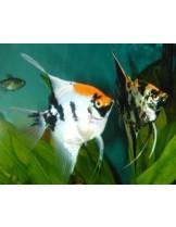 Скалария - Pterophyllum Angelfish tricolor- 3-4 см. - трицветна