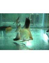 Скалария - Pterophyllum Bulgarian Seal Point angelfish - 3-4 см. - бългърска-двуцветна