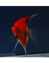 Продавам Скалария - Pterophyllum scalare Red Devil - 3-4 см. - американ ред девил