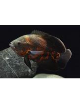 American Cichlids Astronotus ocellatus - mix color - Американски цихлиди - 4-5 см.