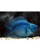 American Cichlids Amphilophus citrinellus x Paraneetroplus synspilus - Blue parrot  - Син папагал - 7-8 см.