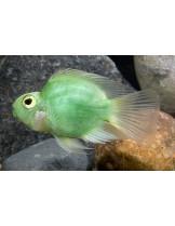 American Cichlids Amphilophus citrinellus x Paraneetroplus synspilus - Green parrot  - Зелен папагал - 7-8 см.
