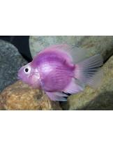 American Cichlids Amphilophus citrinellus x Paraneetroplus synspilus - Purple parrot  - Лилав папагал - 7-8 см.