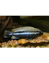 Malawi Cichlids Melanochromis auratus  - Малави цихлида - 3-4 см.