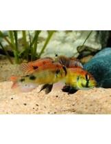 Malawi  Cichlids Haplochromis sp. Yellow Belly  - Малави цихлида - 3-3.5 см.