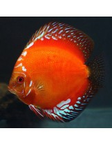 Discus Red Melon  - Дискус - 7-9 см.