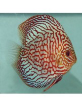 Discus Red Turquoise Checkeboard - Дискус - 6-7 см.