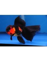 Златни рибки red black oranda - 5-7 см