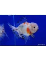 Златни рибки calico oranda - 5-7 см