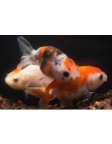 Продавам златни рибки assorted lionhead - 5-7 см