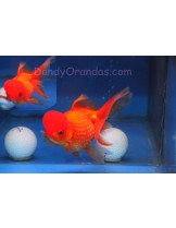 Златни рибки - шишарка - assorted crown pearlscale - 5-7 см