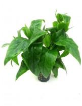 Водно растение - Gymnocoronis green - 8 - 12 см.