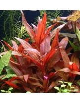 Водно растение - Alternanthera reinickii - 5 - 10 см.