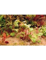 Водно растение - Alternanthera Bettzickiana red - 8 - 15 см.